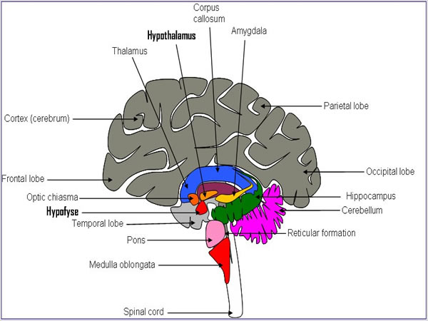 epithalamus diagram - photo #6