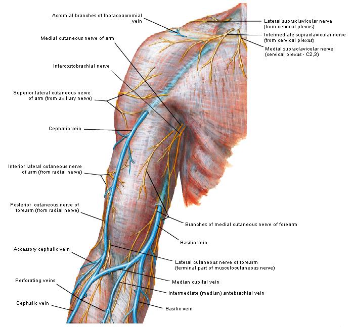 Großartig Axillaris Anatomie Galerie - Anatomie Von Menschlichen ...