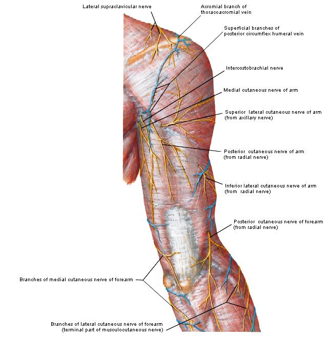 Charmant Gefäßanatomie Arm Fotos - Anatomie Von Menschlichen ...