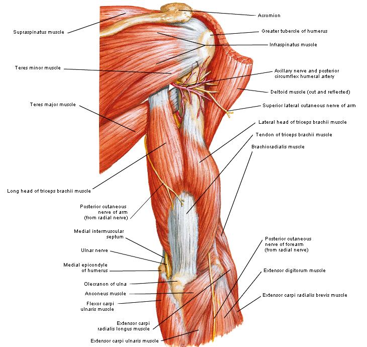 anatomie rugspieren