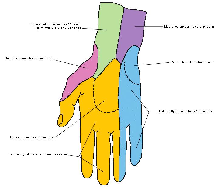 Dermatomes hand
