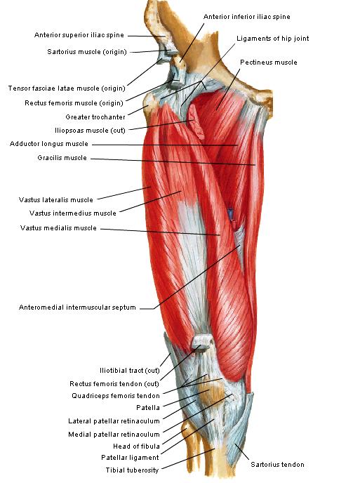 spieren heup