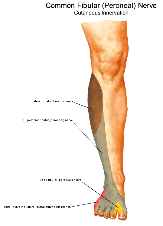 heup anatomie