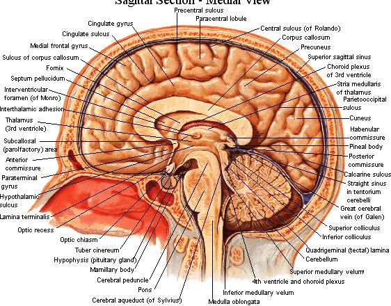 hersenen info