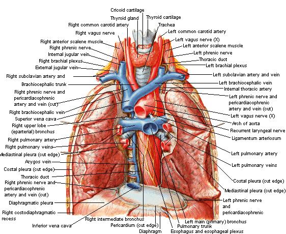 spieren in hals